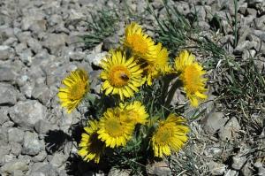 Grand Targhee Arctic-Alpine Flora