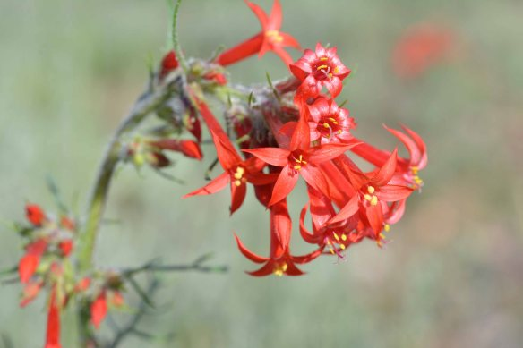 Scarlet Gilia (Ipomoxis aggregata) - Tubular red flowers attract hummingbirds, but also other long-tongued insects.