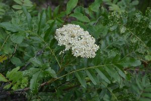 Sorbus scoparia flowers