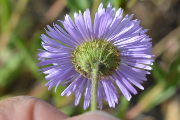 Erigeron speciosum