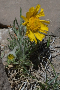 Hymenoxys grandiflora.