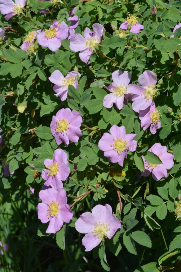 Rosa Woodsii - Wood's rose