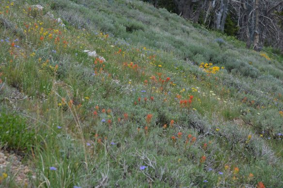 Just south of the high point of the Teton Pass Trail is a mosaic of bloom.