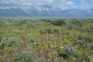 The view from Antelope Flats west to the Tetons is filled with wild flowers.