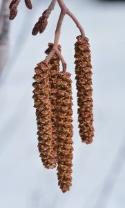 Mountain Alder male catkins are rusty colored just before they produce yellow pollen dispersed by wind.