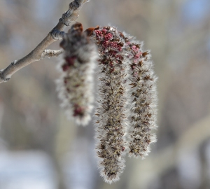 Quaking Aspen - dangling male catkins look like gray caterpillars - look for silvery hairs.