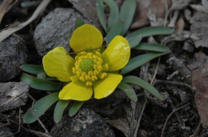 The lowest leaves of Utah Buttercup are deeply 3-5 lobed.