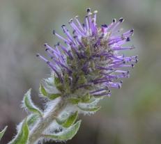 Kittentails - Besseya wyomingensis