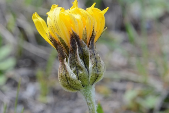 Mountain Dandelions have tidy, upward pointing bracts around each flower head.