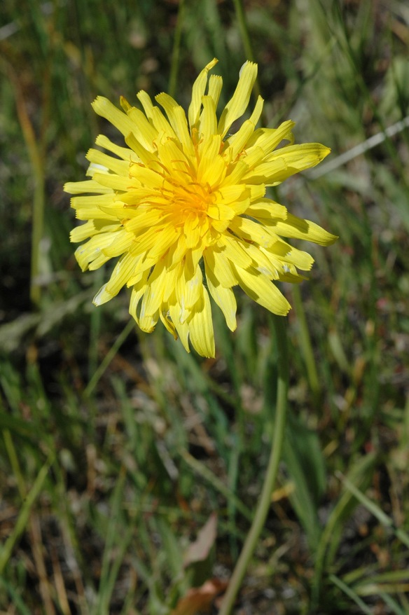 Mountain Dandelion - Agoseris glauca - looks very much like a dandelion, but look closely....
