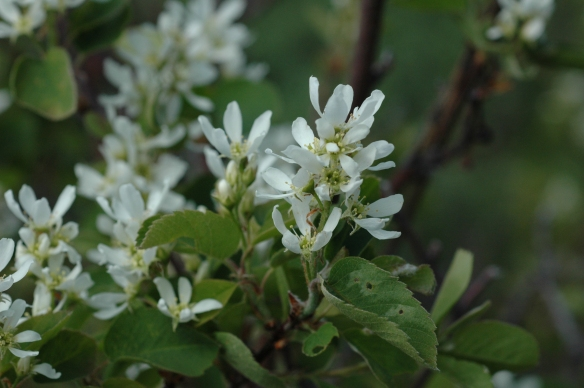 Serviceberry - Amelanchier alnifolia - is in the rose family and produces delicious fruits for people and wildlife.