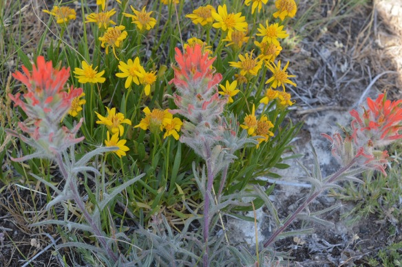 Red Indian Paintbrush with Stemless Goldenweed - Castilleja chromosa and Stenotus acaulis - grow out Flat Creek Road.