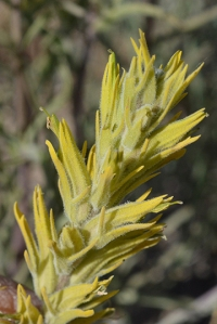 Yellow Indian Paintbrush - Castelleja flava var rustica - one of several yellow paintbrushes.  The details are in the flower proportions and bract shape, as well as  hairs and color. Not easy to ID.