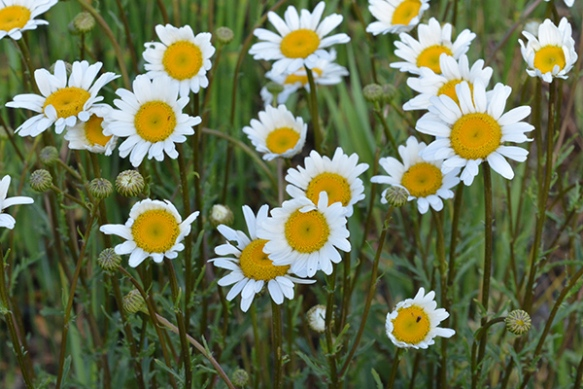 Beautiful bucolic Oxeye Daisies are not not benign and need to be removed from gardens and pastures.
