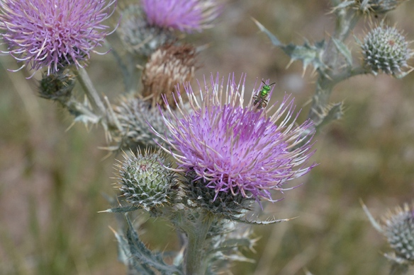 Cirsium scariosum is a beautiful native thistle beneficial to wildlife of all sizes.