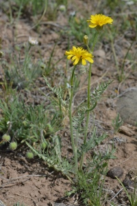 Modoc Hawksbeard - Crepis modocensis - The leaves are often pinnately lobed, the flowers have black hairs.  Several species.
