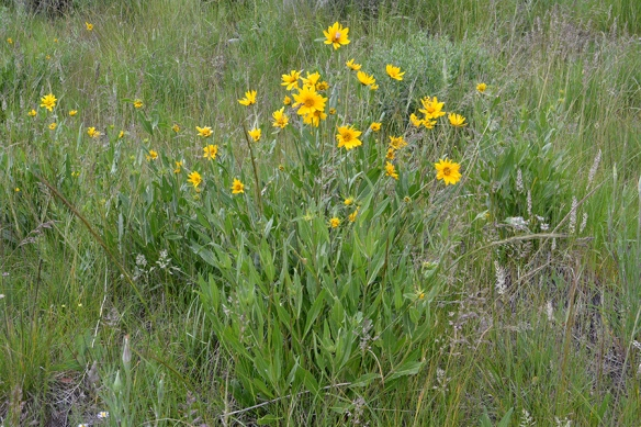 "One-flowered Helianthella - Helianthella uniflora - has single 2"" flowers on strong stems with 3 veined leaves."