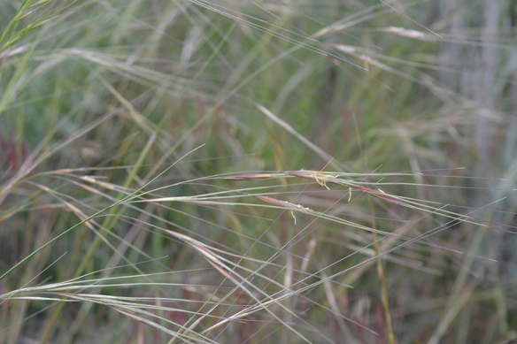 "Needle-and-Thread - Heterostipa comata -  has elegant but sharp ""awns"" 4-5"" long."