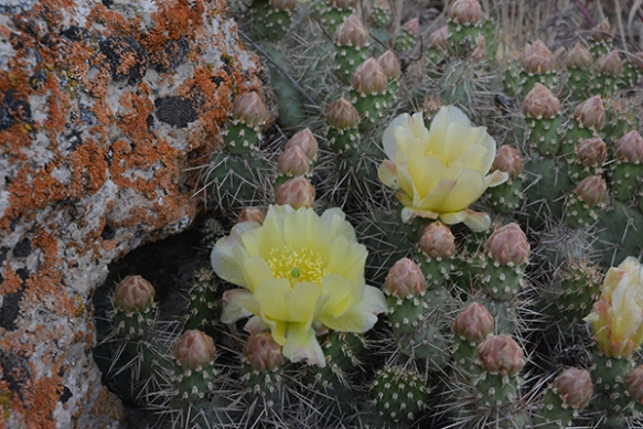 Prickly Pear Cactus - Opuntia fragilis - is blooming out at Kelly Warm Springs on the rocks.  Watch out!