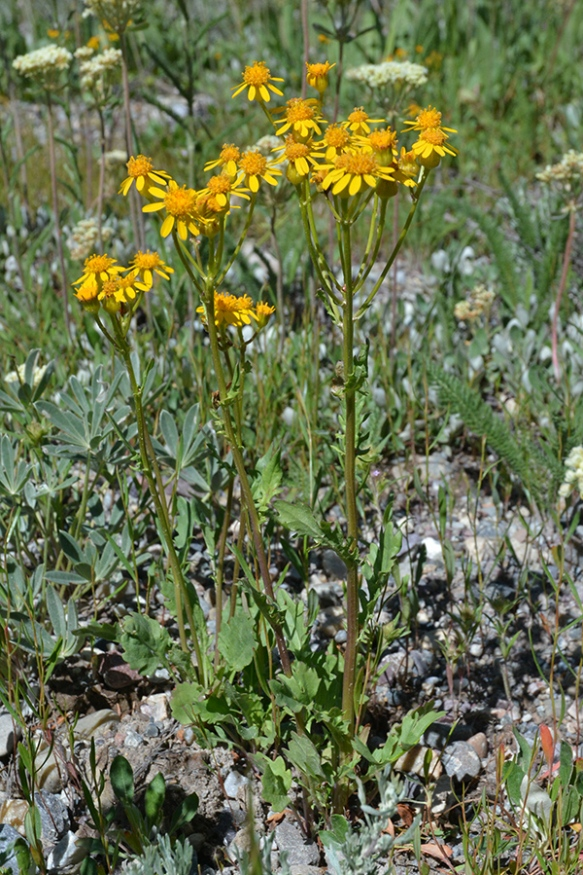 Another confusing composite are the groundsel.  This one on Lupine Meadows is Manyface Groundsel, probably because the variable leaves make it difficult to ID.