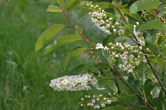 Chokecherry - Prunus virginiana - has long wands of flowers attractive to many pollinators.  Fruits are vital to wildlife.