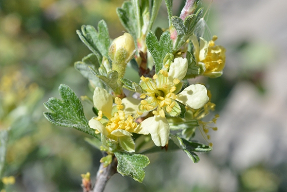Antelopebrush - Purshia tridentata - has fragrant pale yellow flowers and three-pointed leaves.