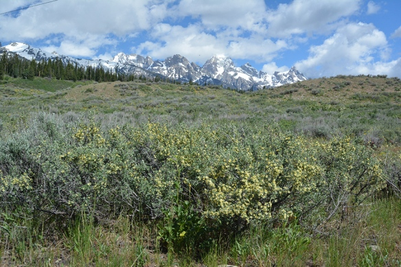 Antelopebrush is perfuming Jackson Hole.
