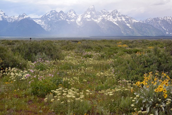 View of Early summer flowers on Antelope Flats, including  Sulphur Buckwheat