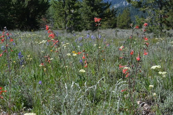 Lupine Meadows with Scarlet Gilia, Sulphur Buckweeat and Lupine.