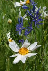 White Mules-ears - Wyethia helianthoides - and Blue Camas - Camassia quamash - bloom together in a wet meadow.