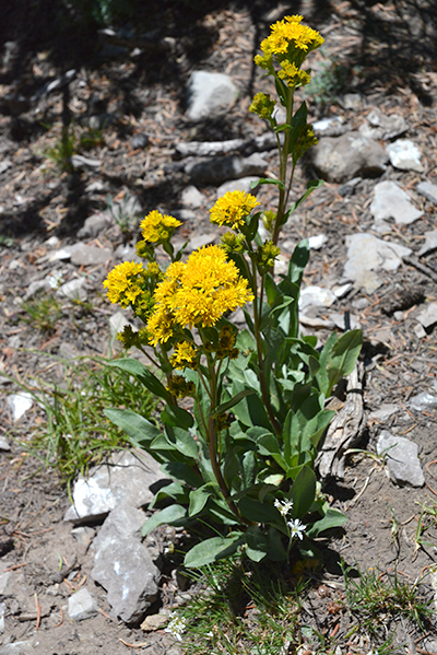 "Low Goldenrod has ""bursts"" of flowers at the top, each head with many tiny ray flowers."