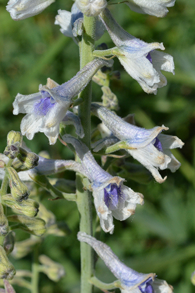 The tall Western Larkspur presents interesting puzzles to pollinators.