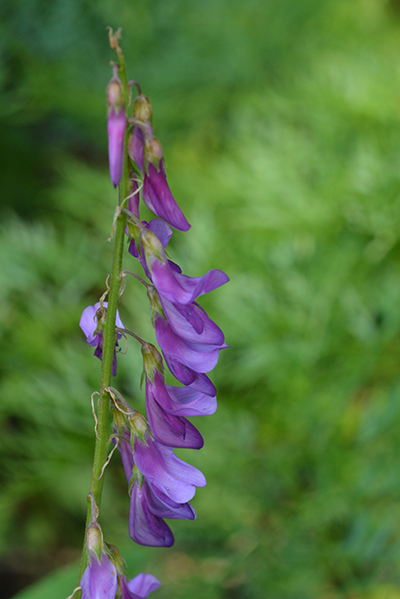 Here are the pea-like flowers of Western Sweetvetch.