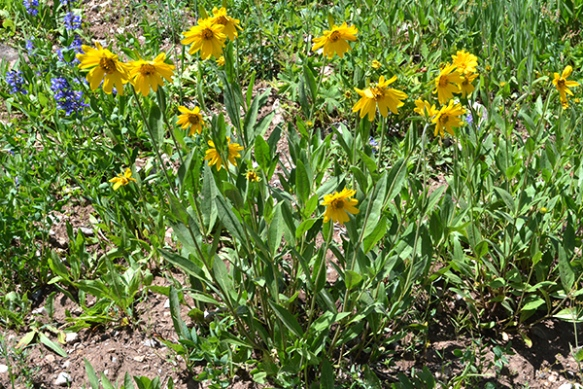 """One-flowered Helianthella - Helianthella uniflora - is shorter 2-3' tall, and more demure in its posture.  Lower leaves have 3-veins,  Flower are 2-3"""" across and the bracts are narrowly triangular."""