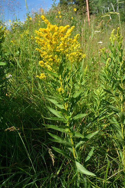 Canada Goldenrod can look a bit like a tall groundsel, but the individual flowers are tiny.