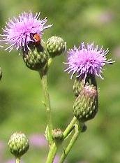 Canada thistle flowers, Cirsium arvense.