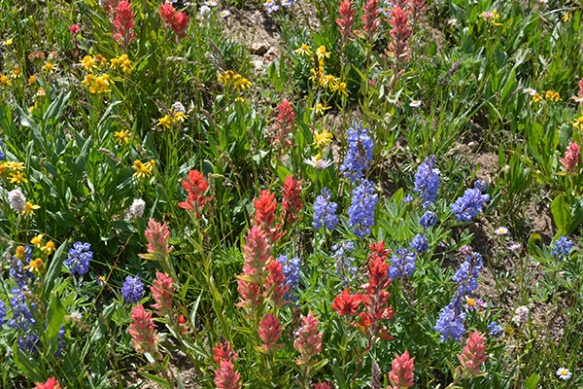 Lupines, groundsels, Indian paintbrush are now blooming over 9000'.