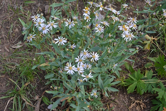 Blue-leaf Aster has a ghostly appearance on rocky high elevations.