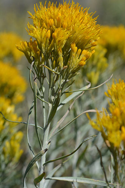 August 2014 teton plants rabbitbrush has felt like gray hairs on the stem and long flattish leaves mightylinksfo Gallery