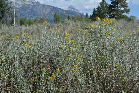 Several yellow composite shrubs brighten sageflats.  This is Rabbitbrush.