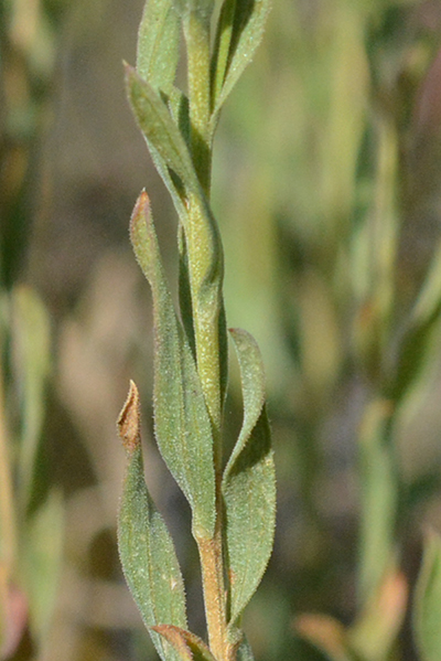 The leaves of Douglas Rabbitbrush are usually twisted, and the stems are not densely gray hairy.