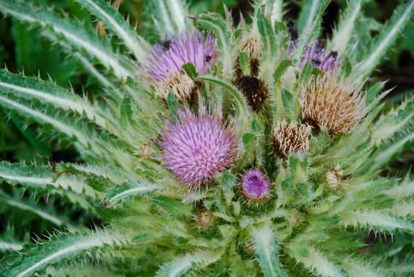 Flowerhead of the elk thistle, Cirsium scariosum.