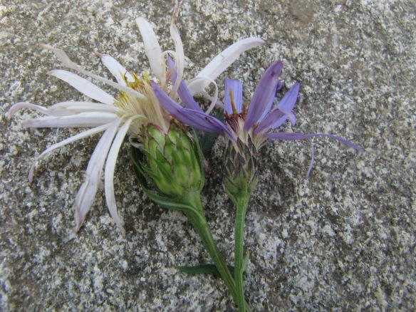 For comparison:  Engelmann's Aster left, Nuttall's Aster right.