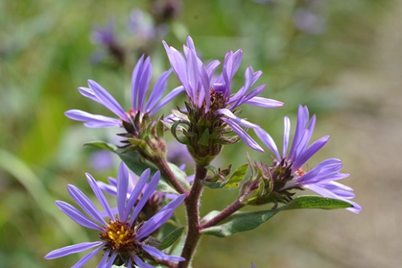 The stems of Thickstem aster are not only thick, but also sticky.  A forest of glandular hairs deter crawling insects from laying eggs in the developing seeds.