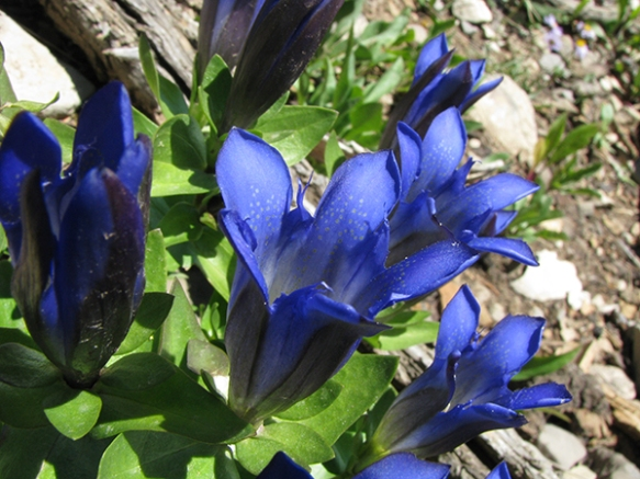 Mountain Bog Gentian graces high elevations with its pleated, speckled blue flowers.