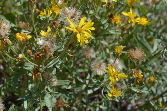 The genus for Golden Aster has been in dispute.  Two rows of pappus hairs is one clue.  Yikes!