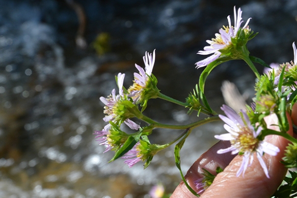 Bracted Aster also has leafy bracts, which can be confused with the species below: Leafy Aster.  ID depends on several clues.