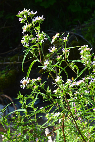 Bracted Aster is found along streamsides and wet meadows.  Note the long leaves and many flowers along the stem.