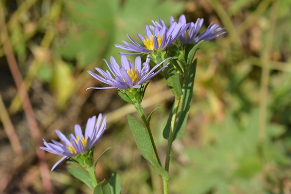 Bracted Aster usually has leaf-like bracts and long broad leaves.