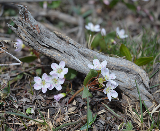 Spring Beauty (Claytonia lanceolata) are sprinkling  sage flats in the park